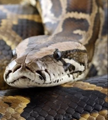 Woman have sex with snake